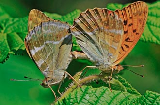 Mating pair of Silver-washed Fritillary butterflies