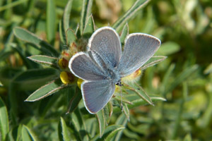 Small Blue with open wings