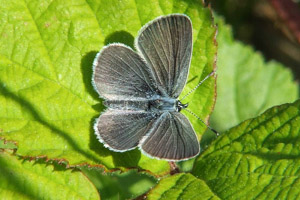 Small Blue butterfly with wings open