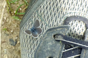 Small Blue butterfly on a man's shoe