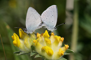 A pair of Small Blues mating on a kidney vetch flower