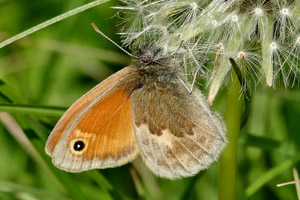 Small Heath underwing