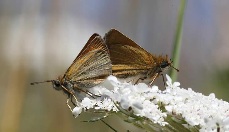 Small Skippers mating