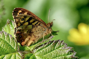 Speckled Wood underwings