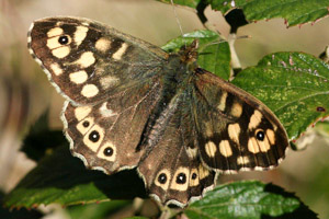 Speckled Wood upper wings