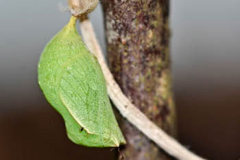 Speckled wood pupa