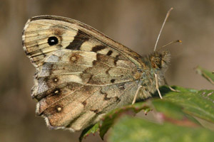 Speckled Wood under wings