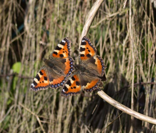 Two Small Tortoiseshell butterflies close together