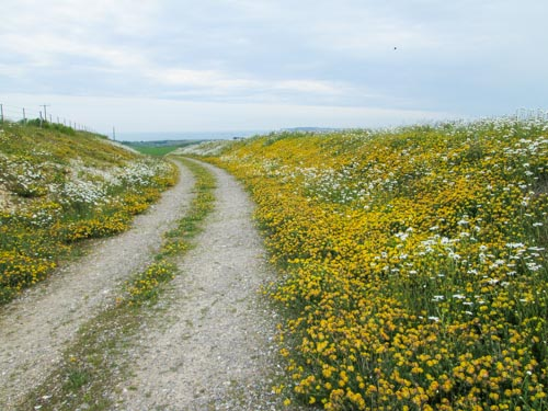 View of the bridleway with mass of yellow kidney vetch all along the side of it