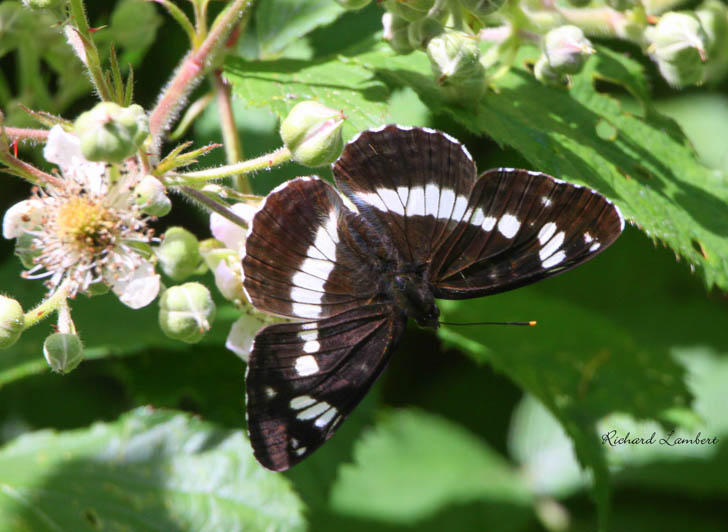 White Admiral with wings open on a bramble flower