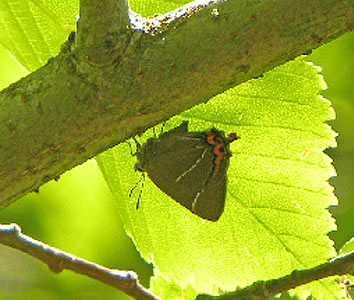 White letter Hairstreak under leaf