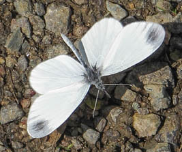 Wood White top view