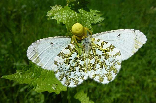 Orange Tip being eaten by a crab spider